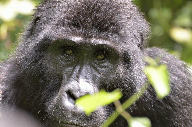 Gorilla's in het echt