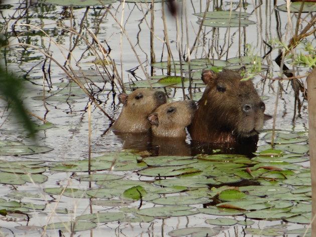 Familia capibara