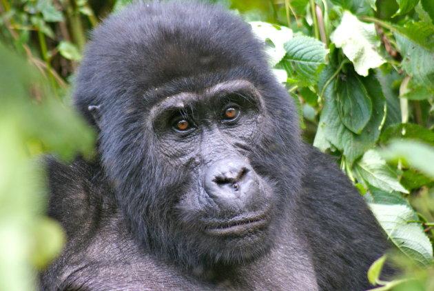 Gorilla's in de mist van Uganda