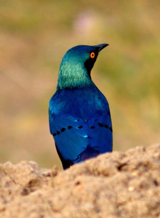 Prachtige vogels in Uganda