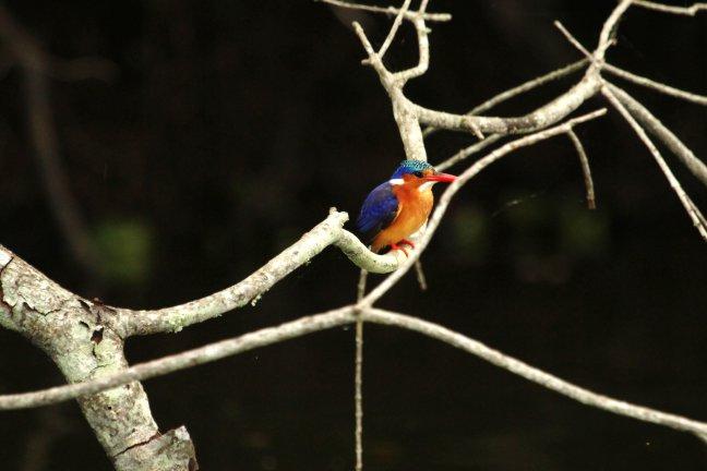 IJsvogel bij Lake Mburo