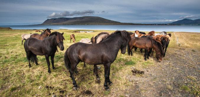 Het IJslandse paard