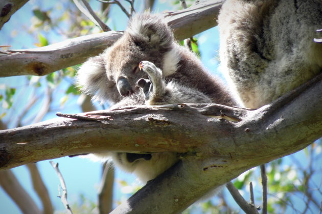 Koala jong