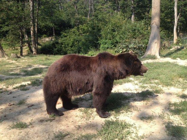 Roemeense beer