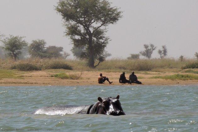 Nijlpaarden in de Niger