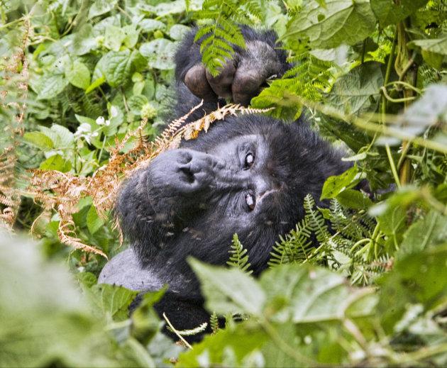 Gorilas in de mist