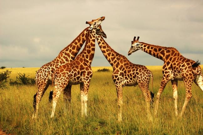 een groep giraffe's