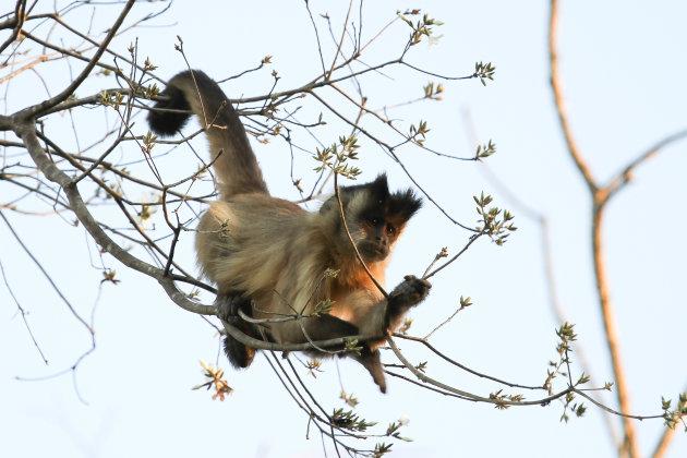 Bearded Capuchin Monkey