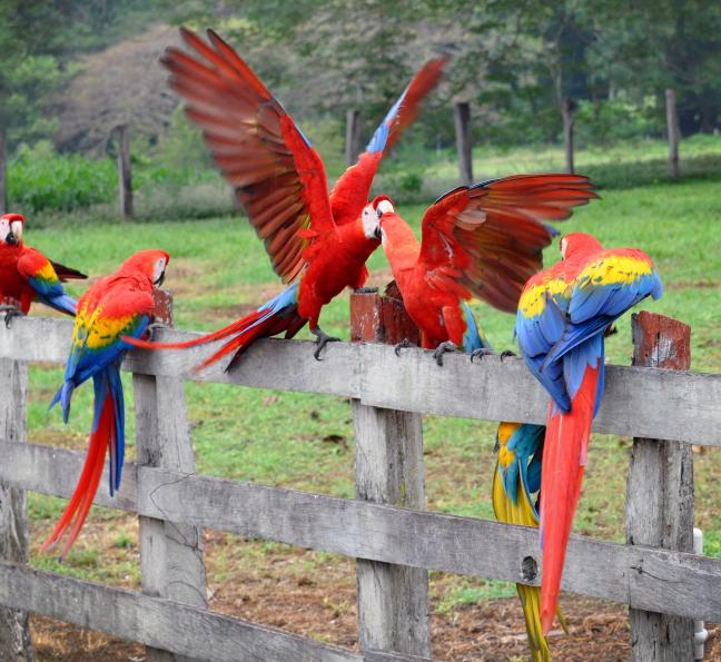 Wilde Papagaaien