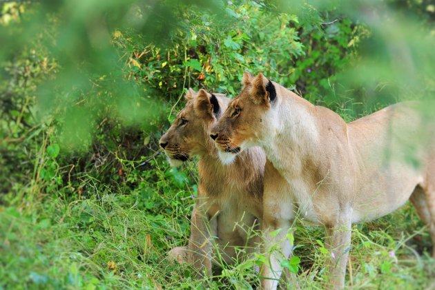 Leeuwen Broer en zus