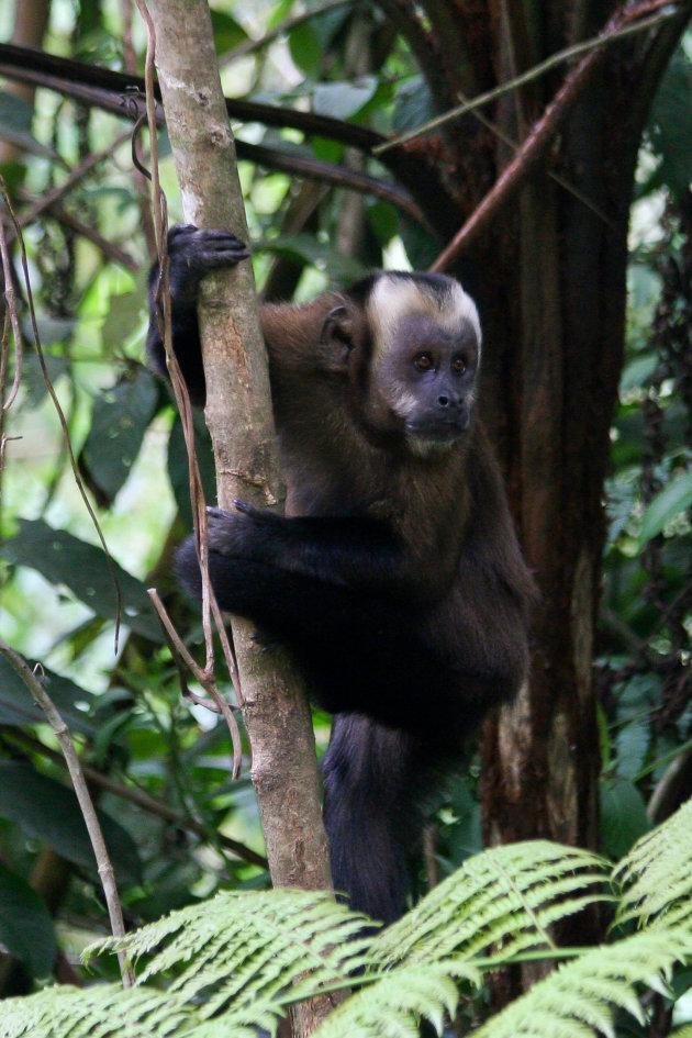 Gracile Capuchin Monkeys