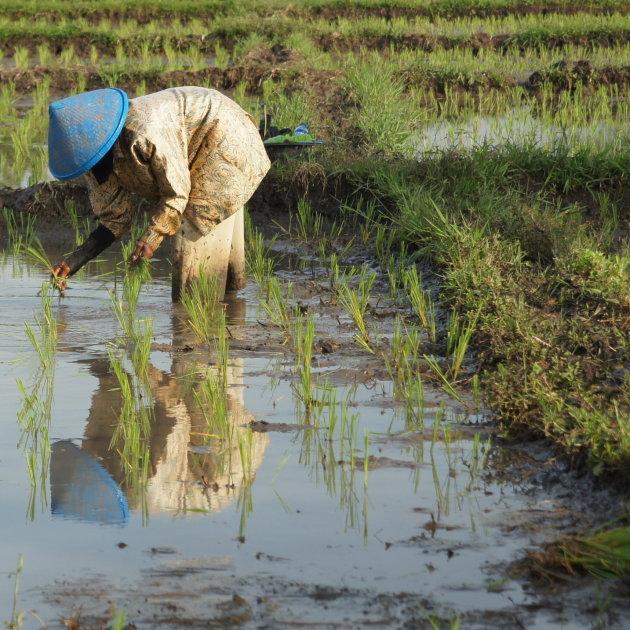 Rijstplanter