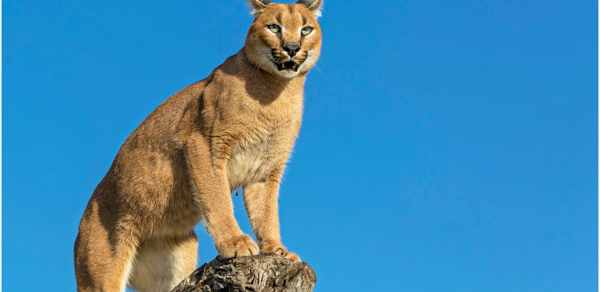 Caracal in Blauw