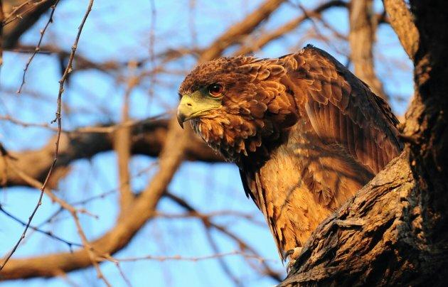 Roofvogel in Botswana