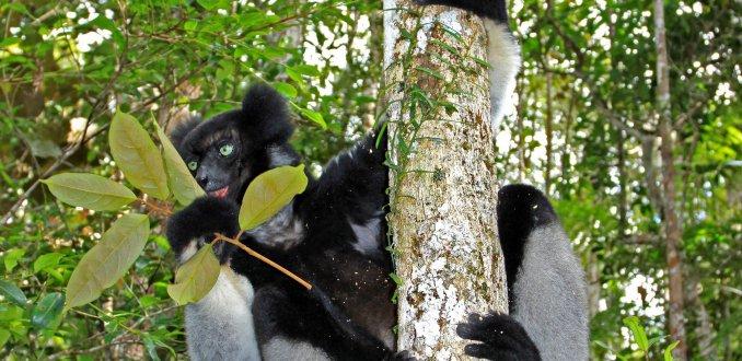 Indri in Madagaskar