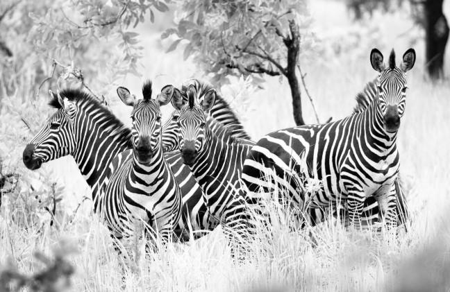 Zebra vorm