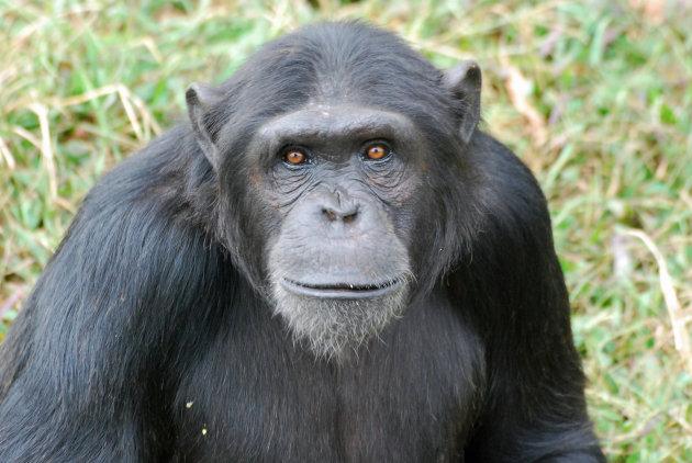 Chimpansee's op Ngamba Island