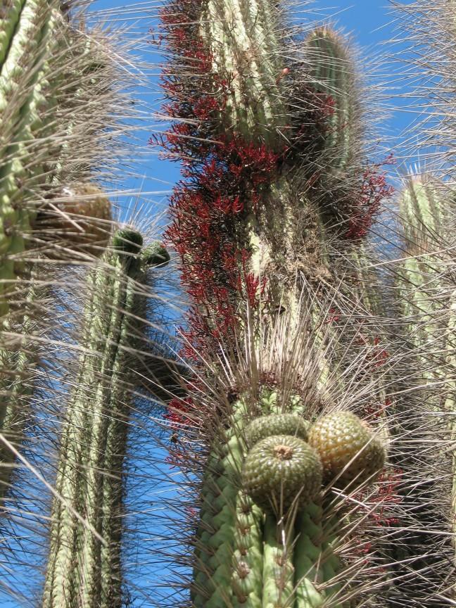 Cactus Magnus