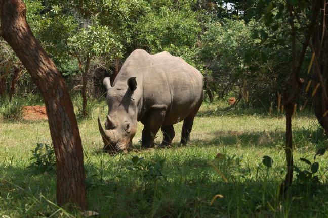 Rhino's (bijna) terug in Murchison Falls
