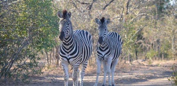 Zebra's spotten tijdens wandelsafari