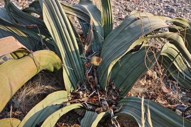 Woestijn Plant (welwitschia mirabilis)