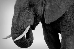 Olifant in Addo NP