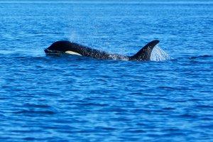 Een spuitende Killer whale in Britisch Columbia