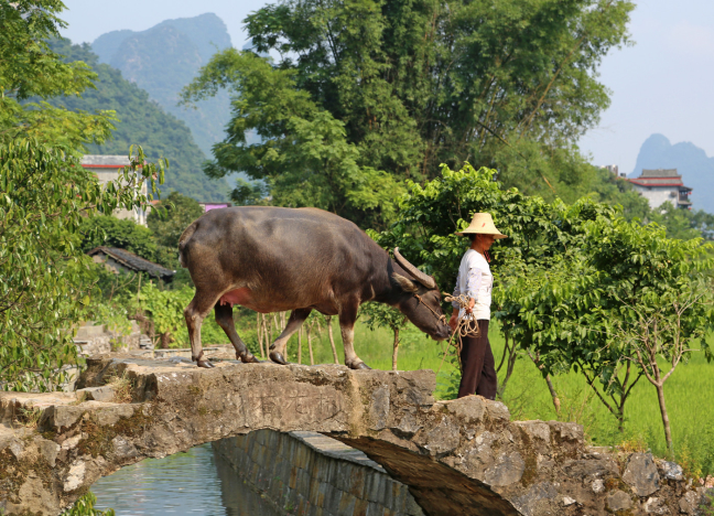Buffel(en) in Yangshuo