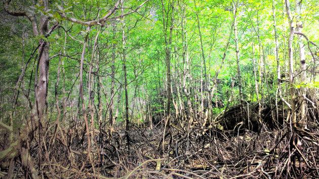 Mangrove met vleermuizen