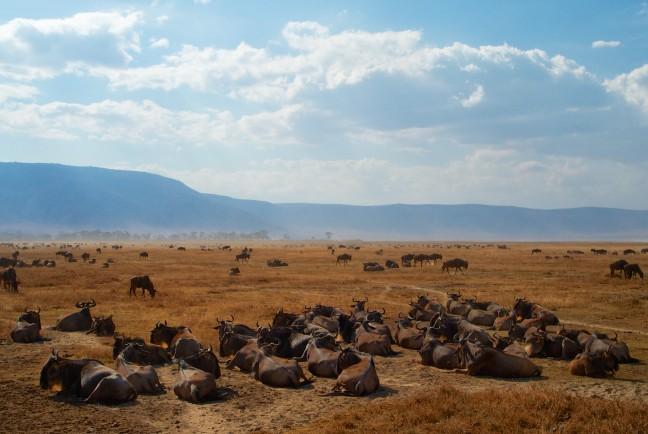 Wildebeesten in de Ngorongoro krater