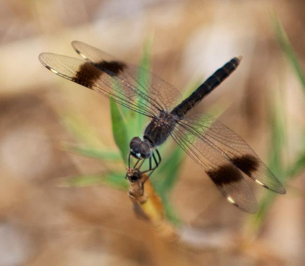 Zwarte Libelle  in de ogen kijken!
