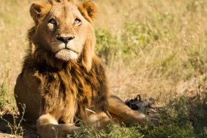 Trotse leeuw