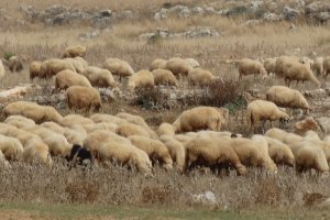 kudde schapen over het strand