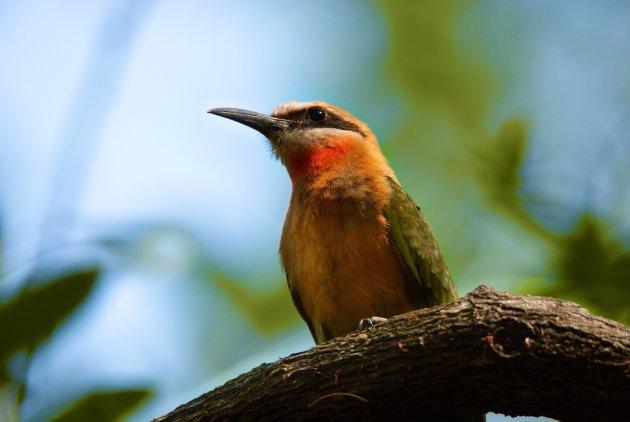 Little Bee-eater van onderaf gefotorgrafeerd.