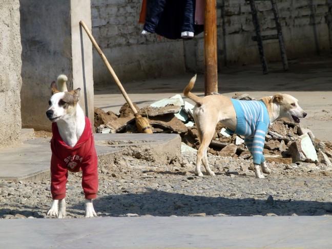 aan geklede honden