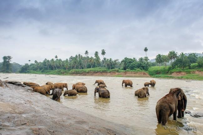 Olifantenweeshuis - Pinnawela
