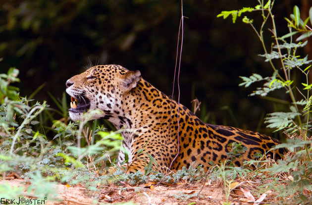 The illusive Jaguar