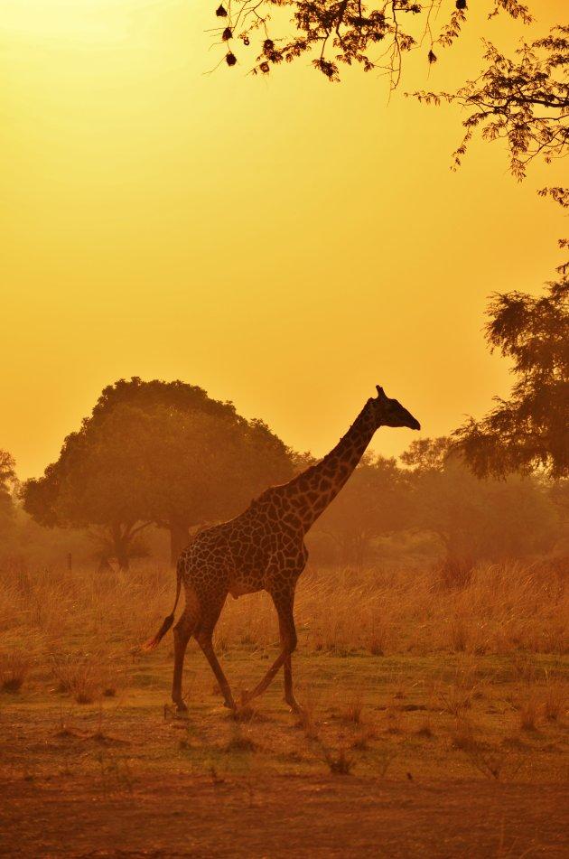 Giraffe bij zonsondergang
