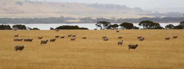 Schapen vlakbij Emu Bay op Kangaroo Island