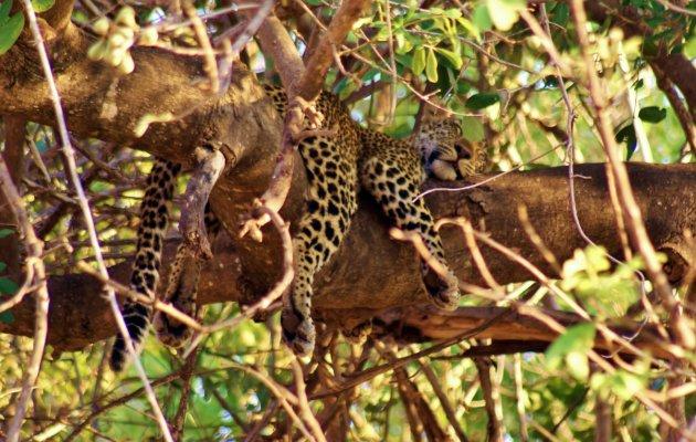 lui luipaard