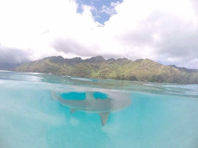 Snorkelen met haaien