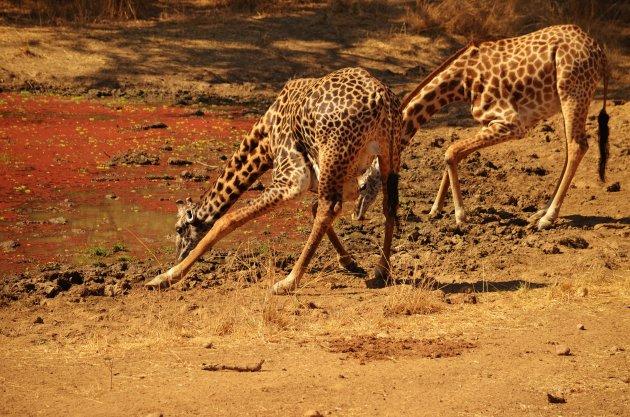 Dorstige Giraffes