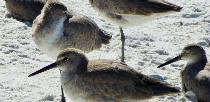 Strand vogels