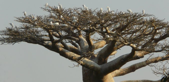Reigerkolonie in baobab