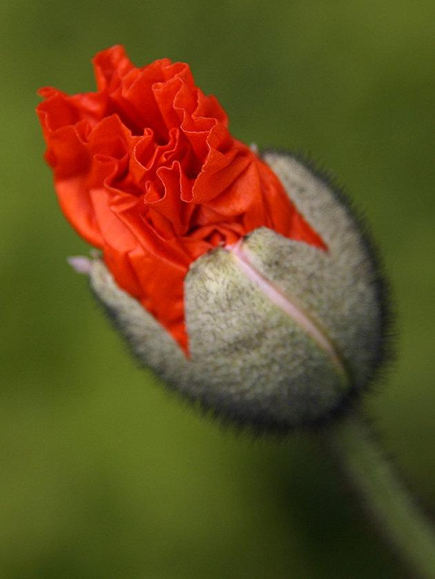 Ze bloeit op