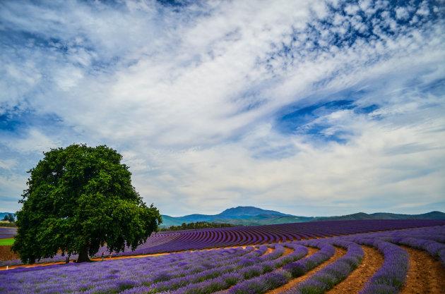 Lavendeltuin Tasmanië