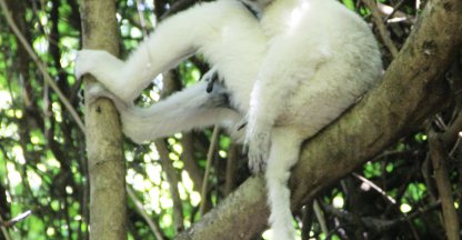 Lonely White Sifaka