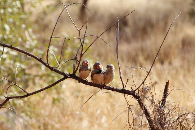 Vogelgezinnetje in de woestijn