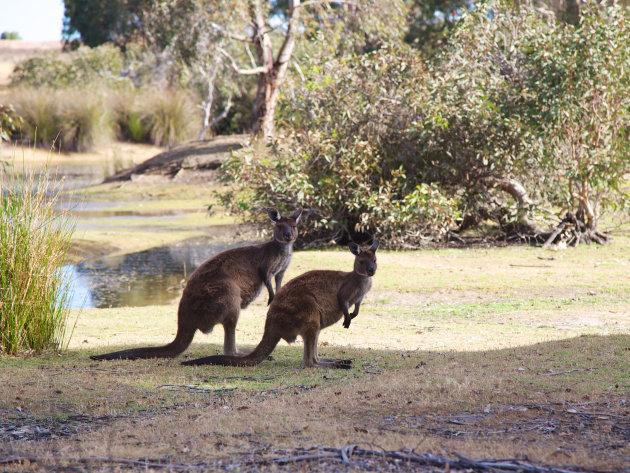 Kangoeroes op Kangaroo Island