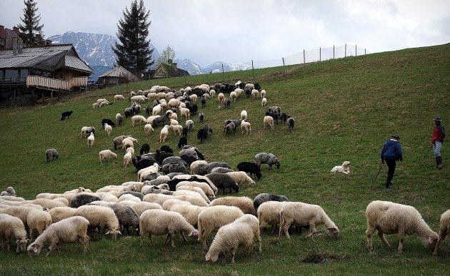 Schapen tegen het decor van de Tatra